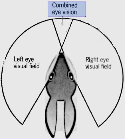 A Rabbits Vision