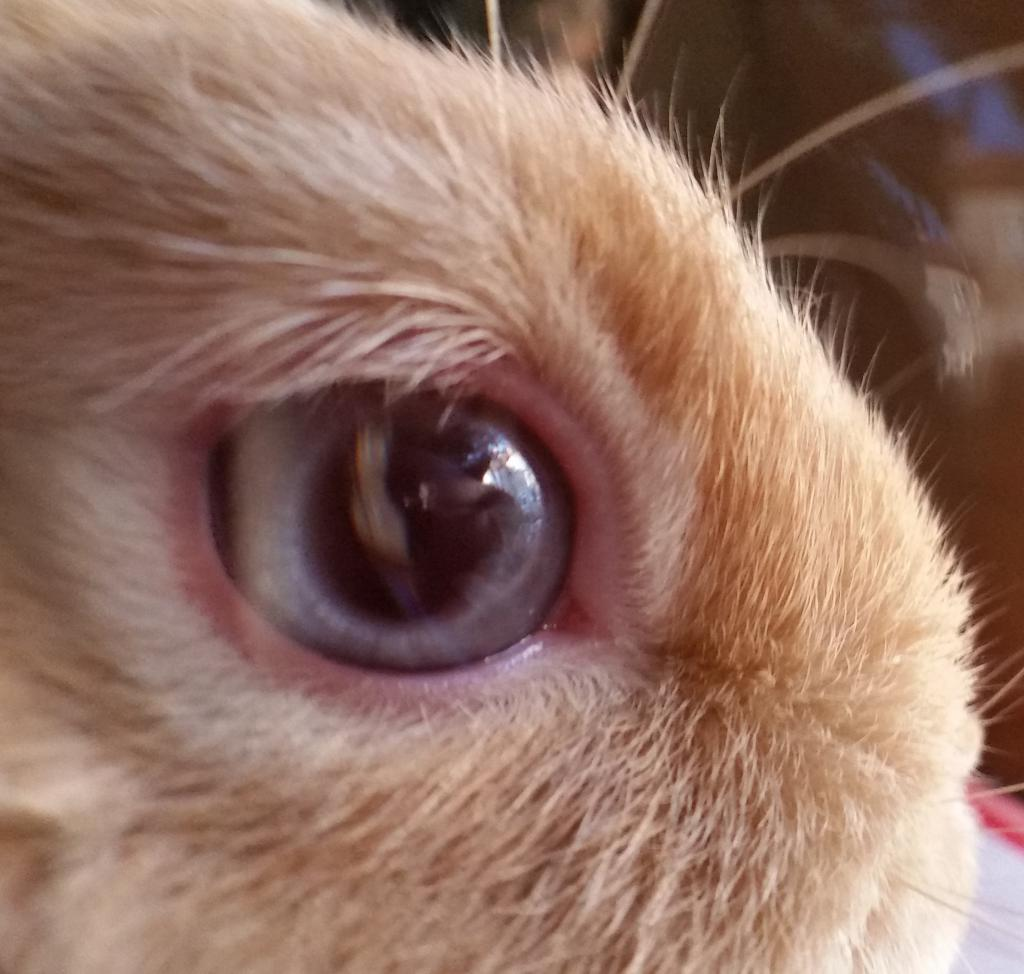 Domestic Rabbit Hare Jackrabbit Cottontail Eye Color Examples